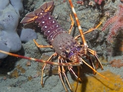 Sark first in British Isles to fully protect the crawfish