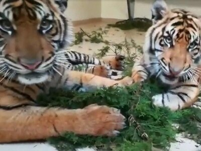 A stormy day meant these tigers got to play adorably with some branches indoors