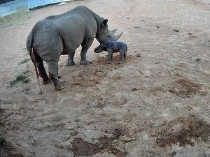 Zoo celebrates arrival of rare black rhino calf
