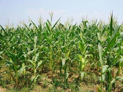 Loyal dog stayed with missing girl overnight in cornfield until rescuers arrived