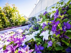Local Clematis exhibition 'a blooming marvellous idea'