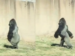 This gorilla at Philadelphia zoo walks on two legs to avoid getting his hands dirty