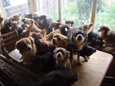 82 chihuahuas discovered in couple's home