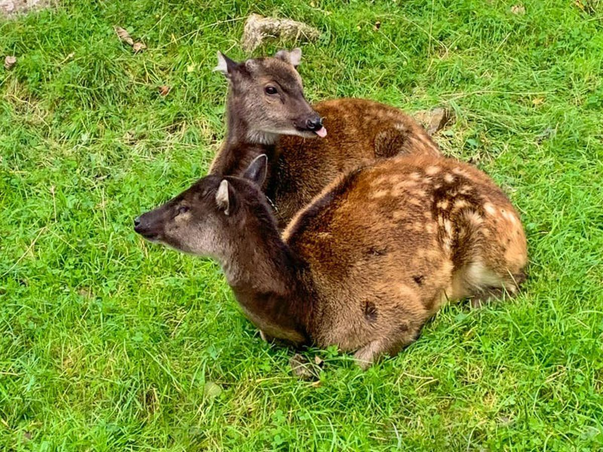 Deer named Neil welcomed to Newquay Zoo