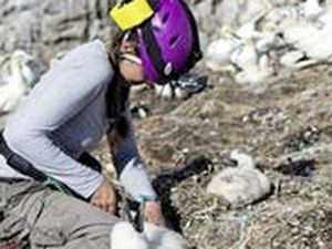 Ringing young gannets is part of the important work the observatory carries out.