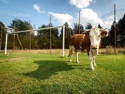 Football fans encouraged to take farmyard animals to game