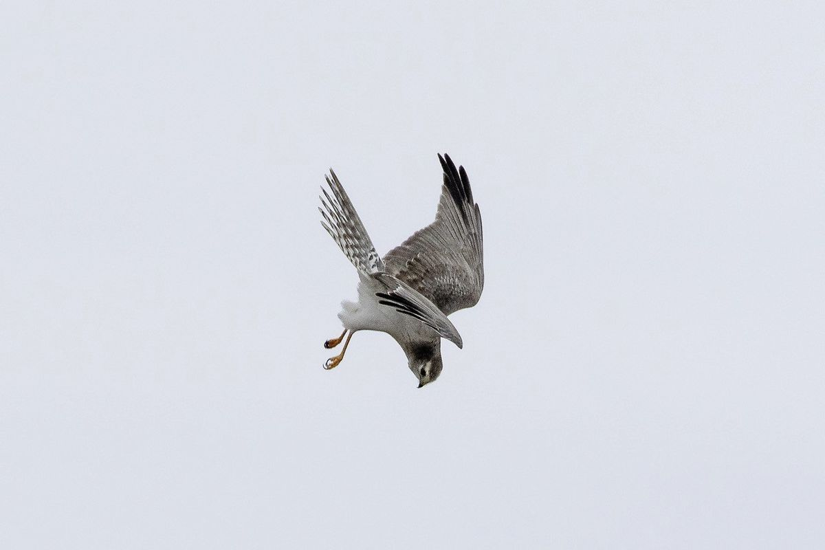 Last year's grey male adult Pallid Harrier recorded for the first time in Guernsey by Rod Ferbrache. Image taken by Rod Ferbrache.  (28693250)