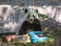 Panda enjoys celebrates fourth birthday with frozen cake