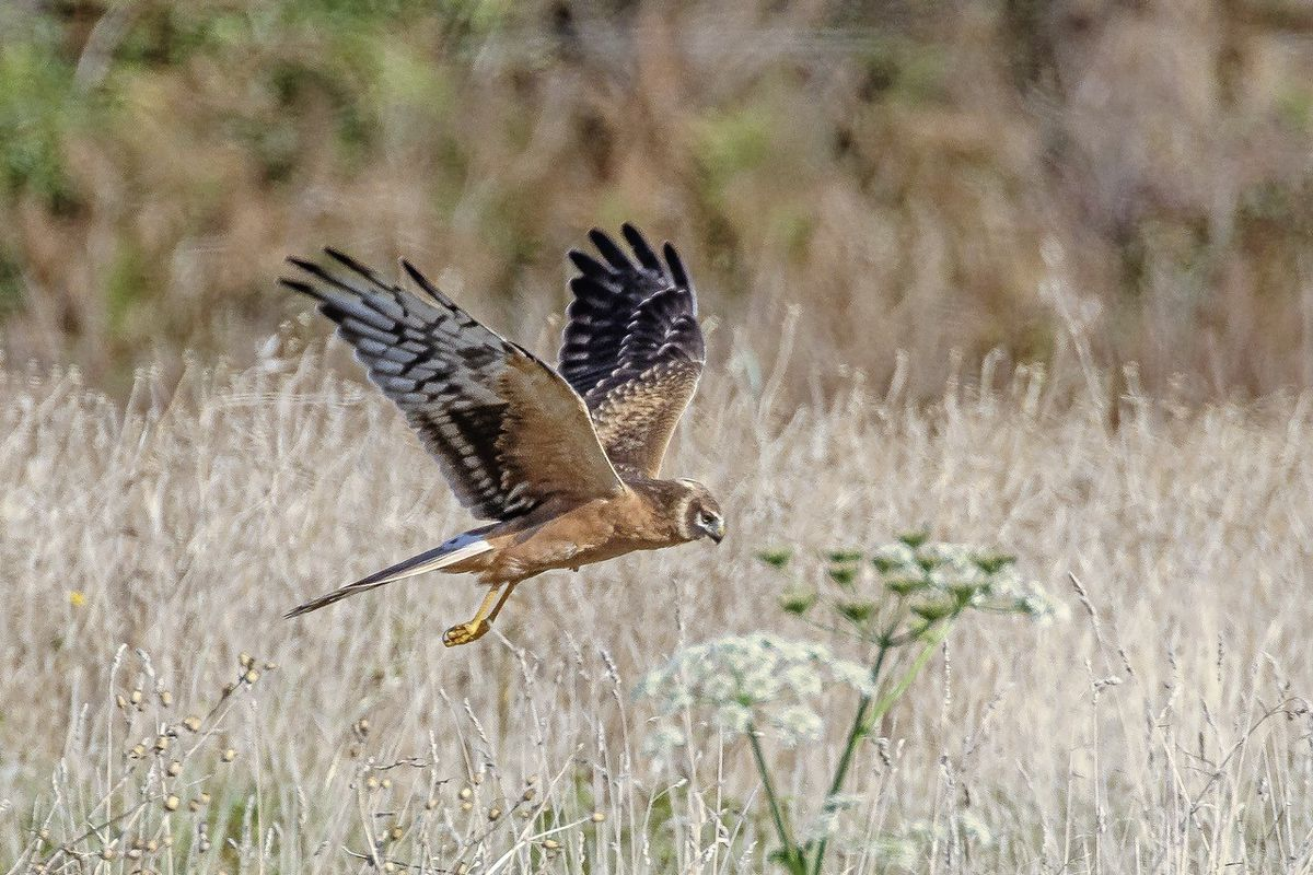 The second brown juvenile Pallid Harrier seen in Guernsey, independently reported this year by Dave Carre and Jamie Hooper. Image taken by Rod Ferbrache.  (28693254)