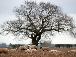 Spike in sheep rustling at height of coronavirus pandemic – report