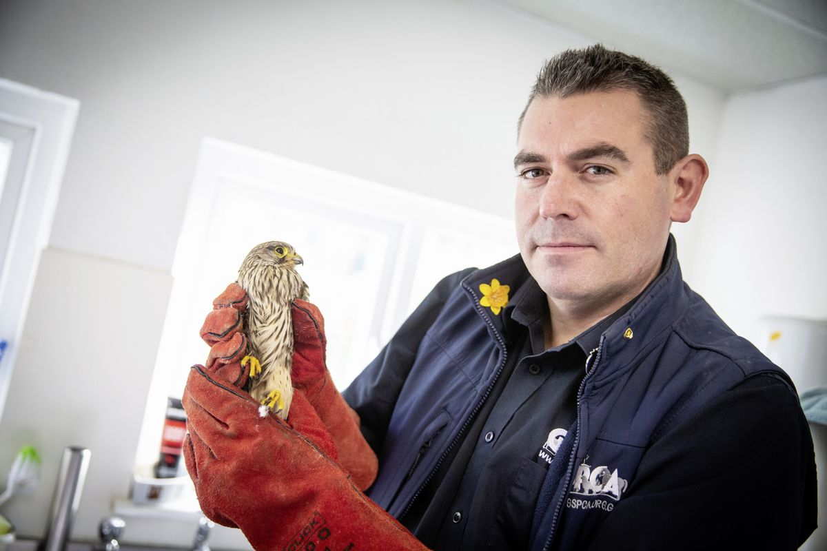 GSPCA manager Steve Byrne with an injured kestrel they have recently rescued and is now being cared for at the centre. It's been named Oberon and has an injured wing. (Picture by Peter Frankland, 28930266)