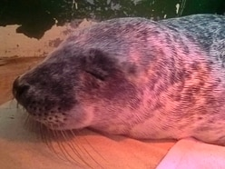 GSPCA rescues first sick seal pup of the season