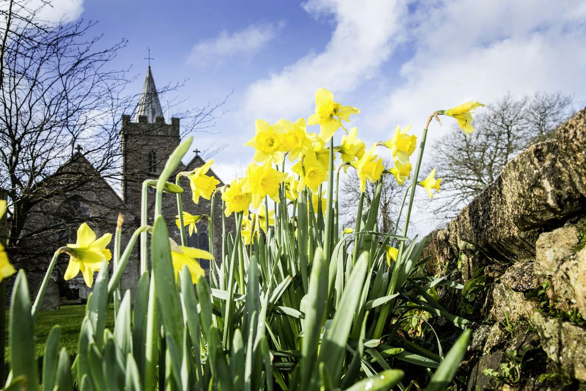 Daffodils in bloom at St Saviour's Church. (Picture by Adrian Miller, 26916577)