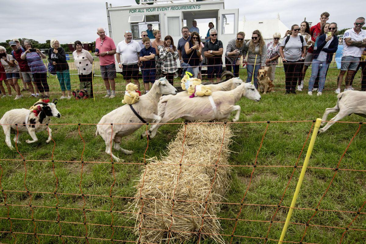 The crowd cheer on the racing sheep and their teddy bear 'jockeys'. (29822275)