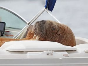 Minister urges public to 'cop on' and leave Wally the Walrus in peace