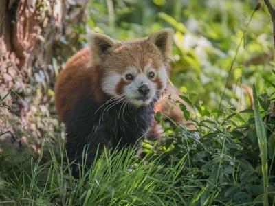 Adorable red panda Koda becomes newest addition to Chester Zoo
