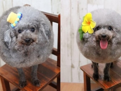 8 versions of the fluffiest, roundest dog you've ever laid eyes upon