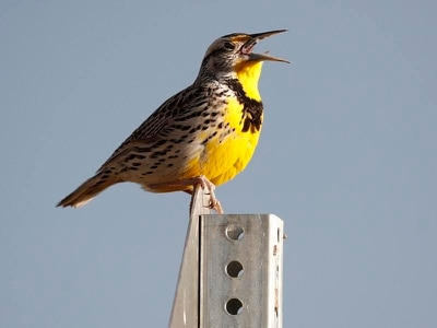 Study reveals three billion fewer birds over North America
