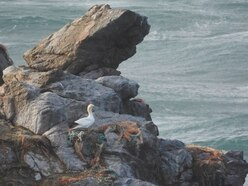 Alderney records first gannet of the year