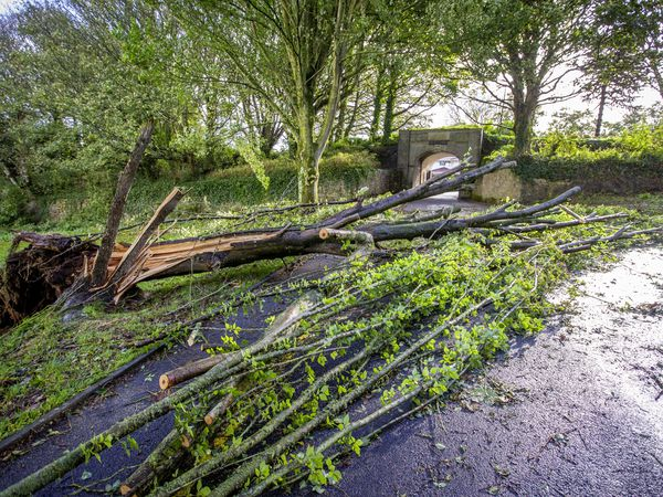 Picture By Sophie Rabey.  21–10-21.  Aftermath of a storm that passed through Guernsey last night.  Fallen Trees on Rue de Belvedere, enterance to Fort George.. (30114043)