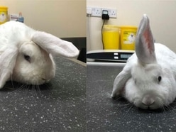 Rabbit with 'unicorn horn' ear looking for Christmas home