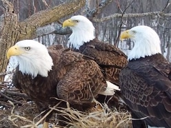 Eagle family of two males and one female filmed raising eaglets together
