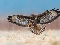 Confirmation fifth bird of prey was poisoned as investigations continue