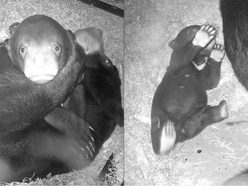 Watch this baby sun bear enjoying hugs from their mum