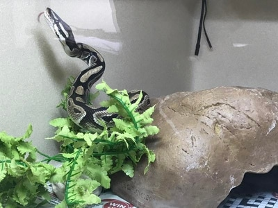 Python discovered in baby's nursery by shocked parents