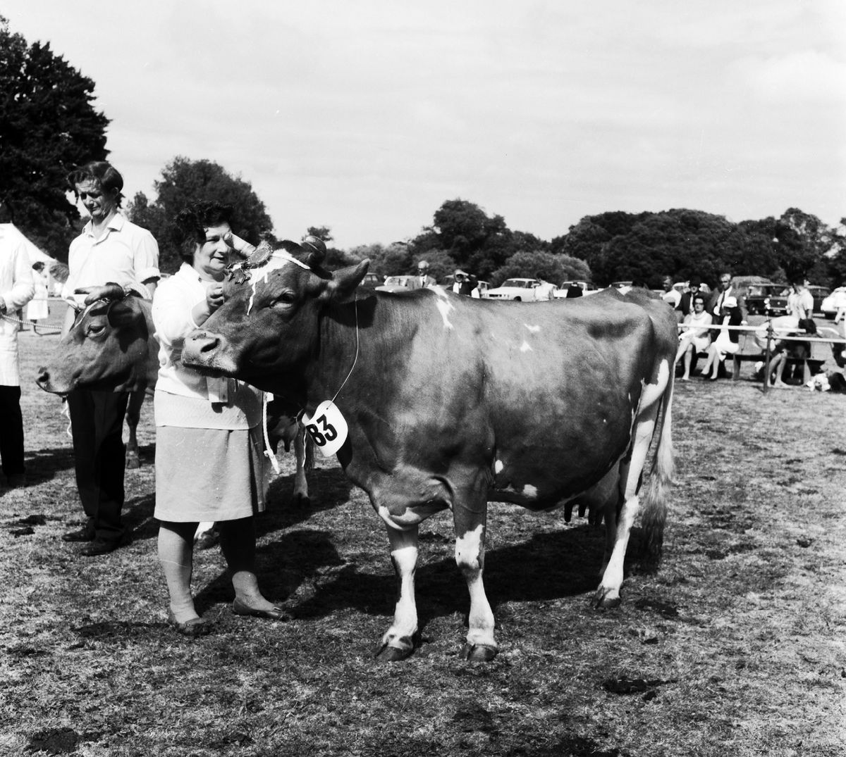 A prize-winning cow in 1971. (28515847)