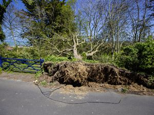 Two trees have been blown over at a property in Rue du Hamel, Castel. (Picture by Peter Frankland, 29509298)