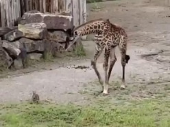 Inquisitive baby giraffe comes face to face with young rabbit
