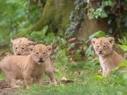 Watch: One-month-old lion cubs play in Port Lympne animal reserve