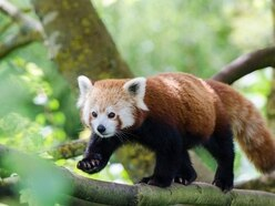 10 photos that prove red pandas should be your new favourite animal