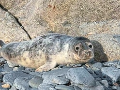 GSPCA takes on fifth seal pup after weekend rescue