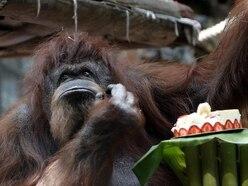 One of the world's oldest captive Borneo orangutans celebrates 50th birthday