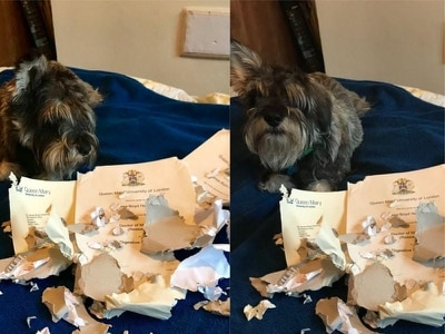 This dog levelled up and ate his owner's entire degree