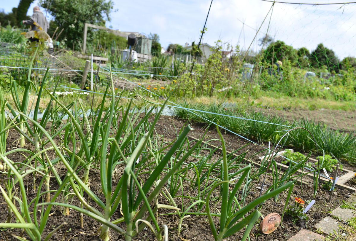 Turning old vinery sites into allotments would benefit Guernsey. (28422813)