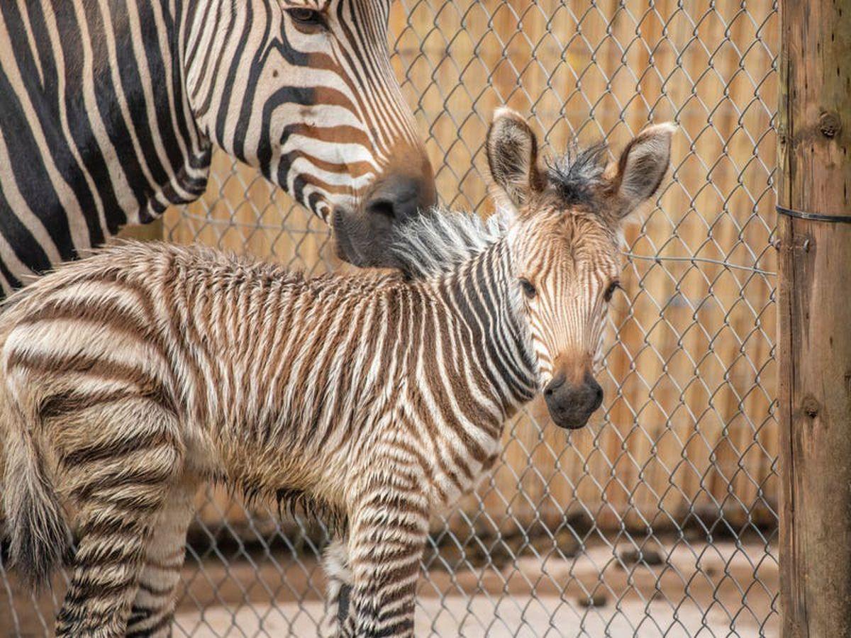 'Vulnerable' zebra foal born at Paignton Zoo
