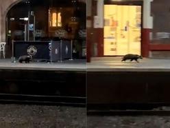 Lost badger spotted on platform at Stoke-on-Trent train station