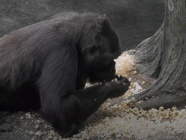 Gorillas enjoy popcorn shower at Chicago zoo
