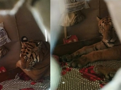 Tiger found resting in house after flooding in India