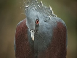 Chick of the biggest pigeon species in the world has just hatched at Chester Zoo