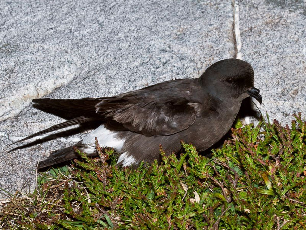 Storm petrels confirmed to be breeding on Isle of May
