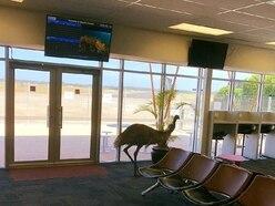 Emu startles staff at Australia airport