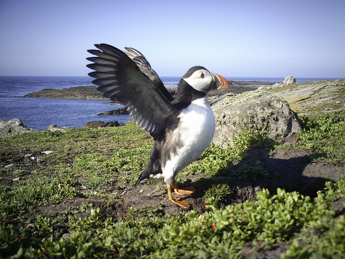 An estimated 160 breeding pairs of puffins are being monitored on Burhou through the Alderney Wildlife Trust's trail camera, deployed near a burrow, and PuffinCam to survey puffins rafting on the water. (Picture supplied by Alderney Wildlife Trust)