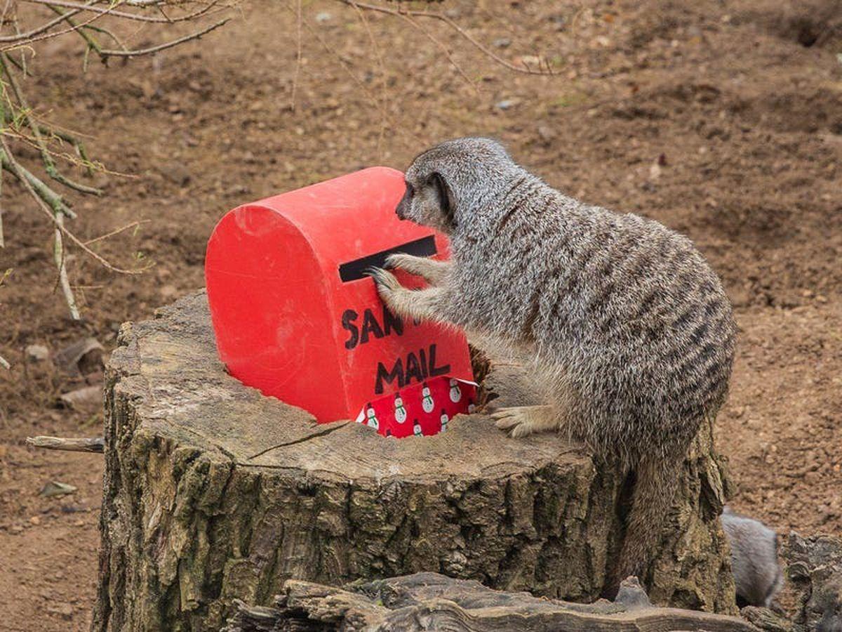 Meerkats at London Zoo post their Christmas wish lists to Santa