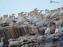 Live tracking of eight gannets is available