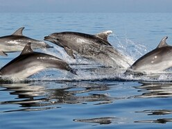 Visiting dolphins 'likely pollution contaminated'
