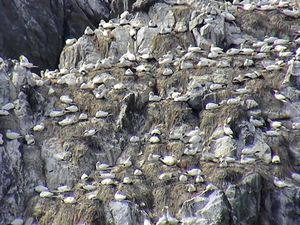 Gannets on Alderney's Les Etacs rocks will be live streamed in high definition 24 hours a day during the breeding season.
